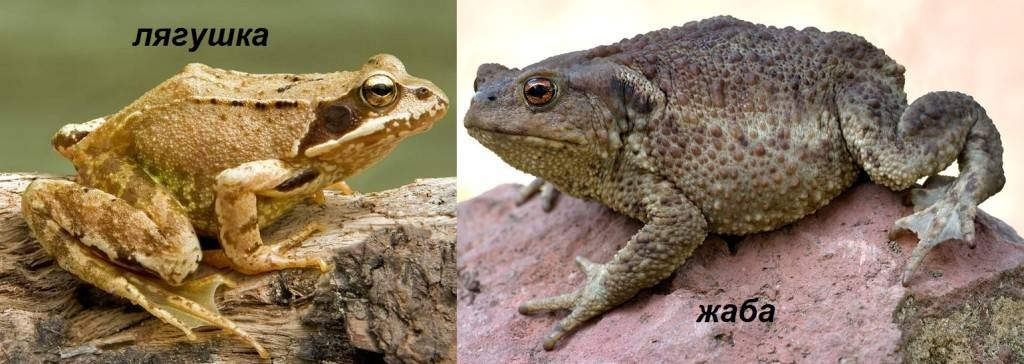 Фото жабы и лягушки