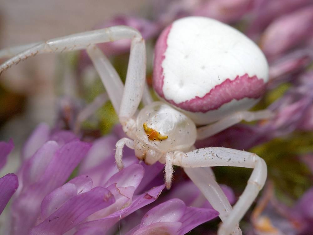 Цветочный паук (лат. Misumena vatia)