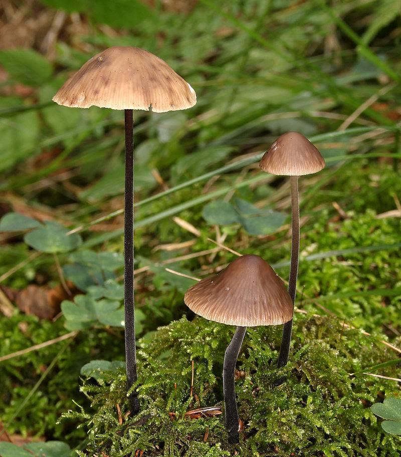 Чесночник большой фото (лат. Mycetinis alliaceus)