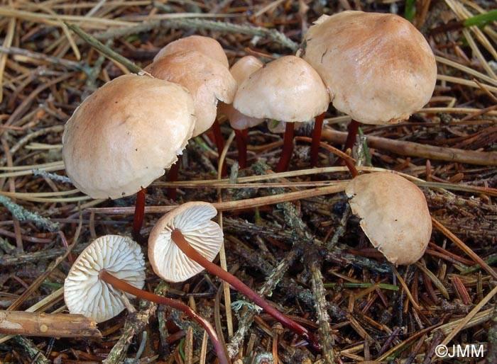 Чесночник обыкновенный (лат. Mycetinis scorodonius, Marasmius scorodonius)