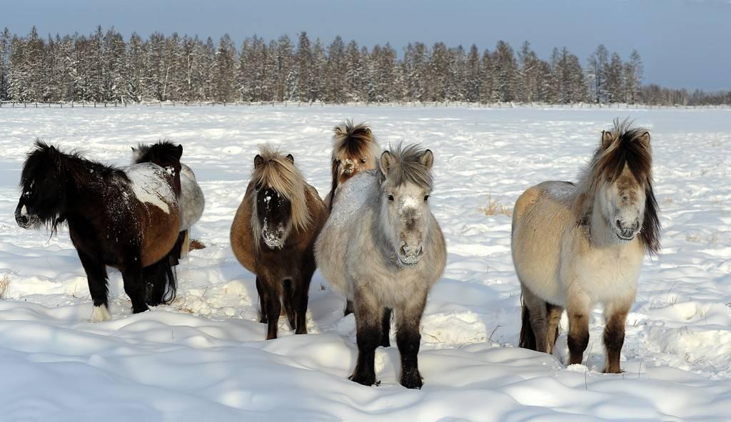 Якутская лошадь фото