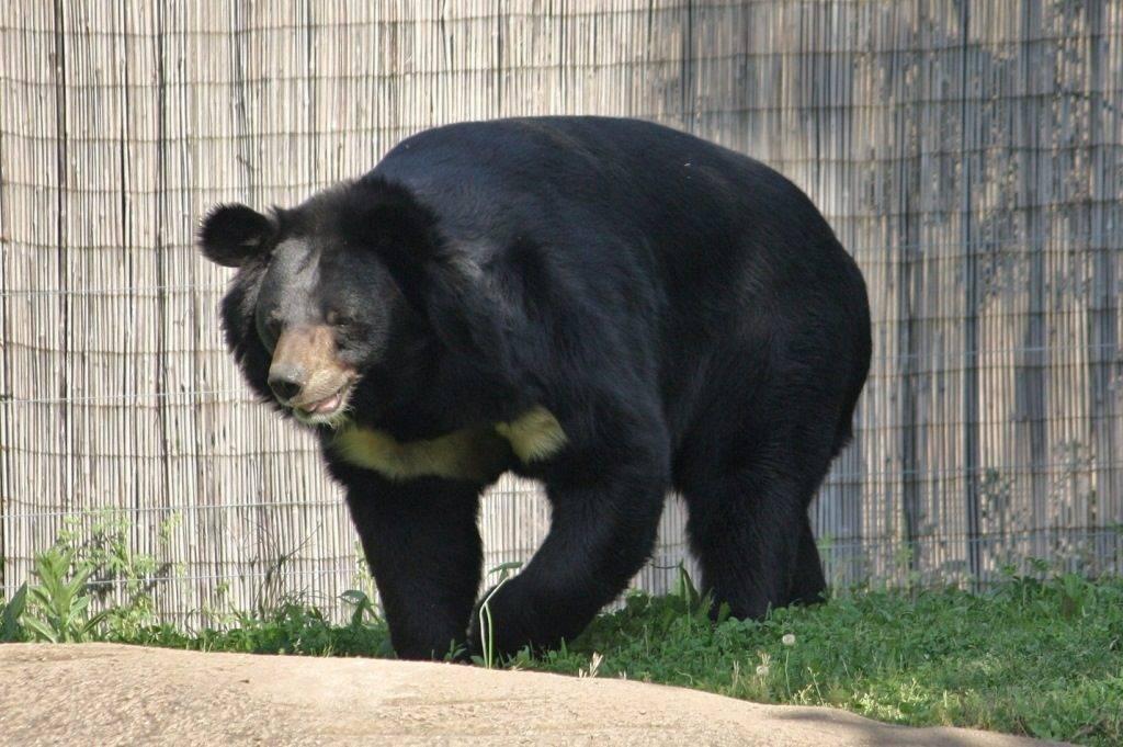 Гималайский белогрудый медведь фото