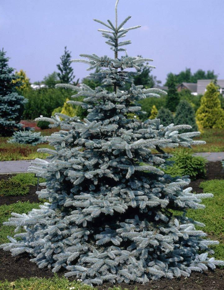Голубая ель фото (лат. Picea pungens)