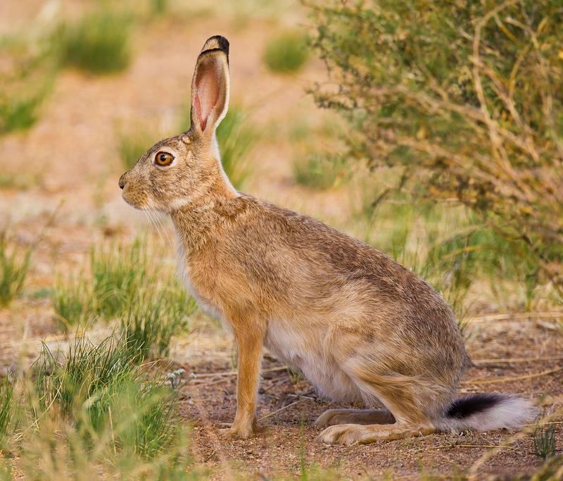 Заяц-толай (Lepus tolai)