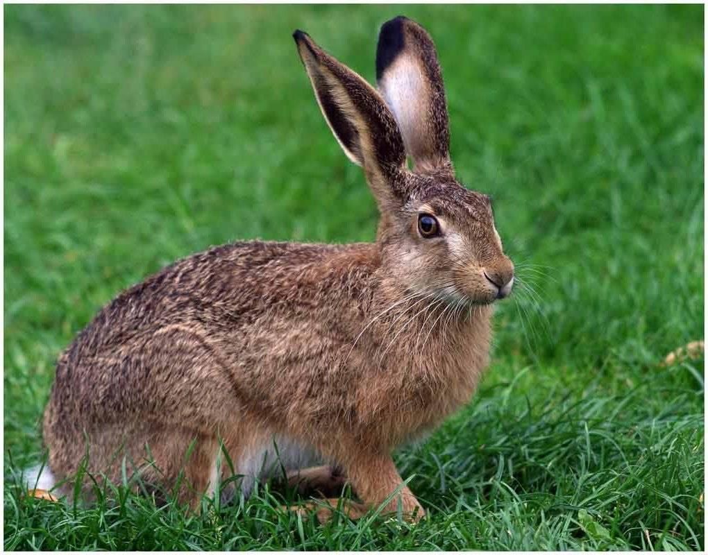 непременно виды зайцев фото с названиями дома может иметь