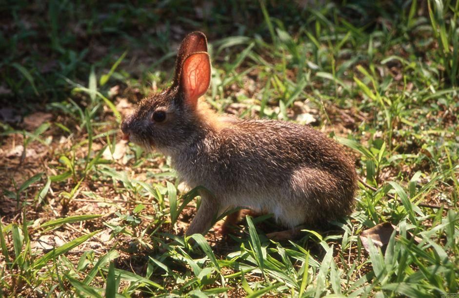 Китайский заяц (Lepus sinensis)