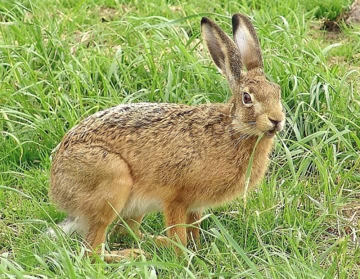 Маньчжурский заяц (Lepus mandshuricus)