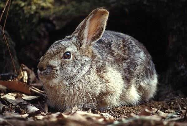 Окраска зайца