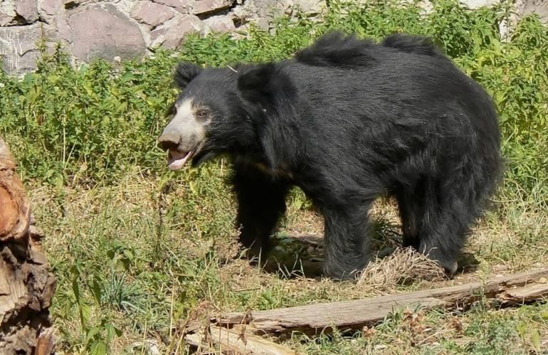Медведь губач фото