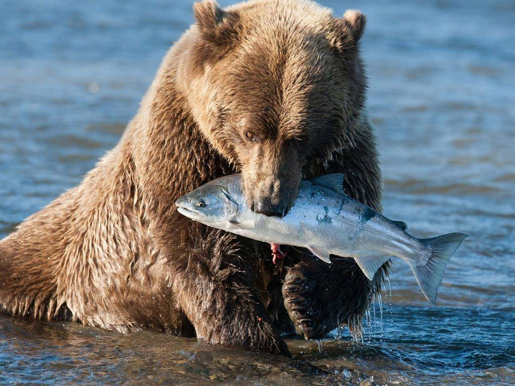 Медведь ловит рыбу фото