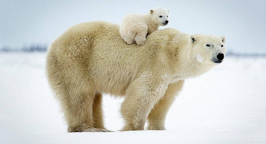 Полярный белый медведь