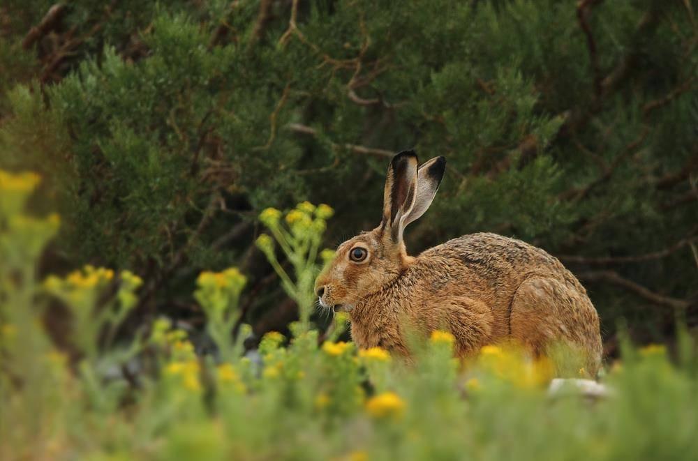 Ракитниковый заяц (Lepus castroviejoi)