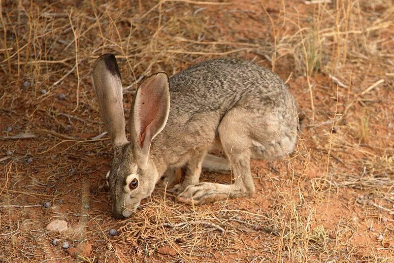 Чернохвостый (калифорнийский) заяц (лат. Lepus californicus)