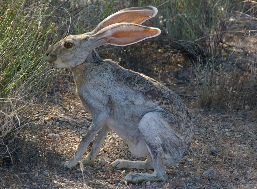 Антилоповый заяц (Lepus alleni)