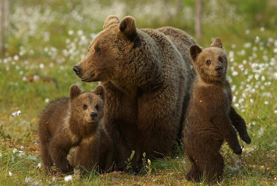 Бурый медведь с медвежатами фото