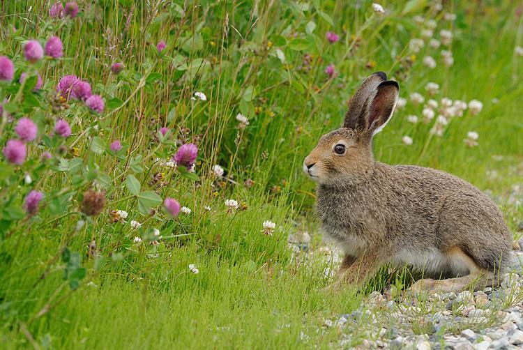 Заяц-беляк летом фото