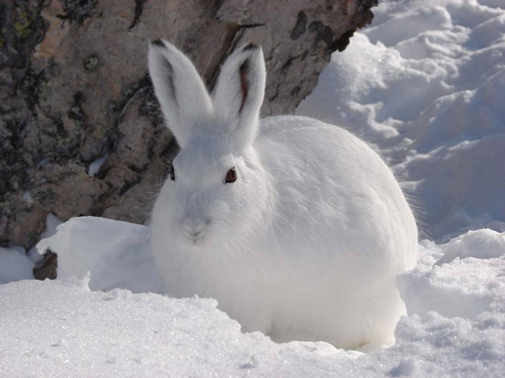 Заяц беляк зимой фото