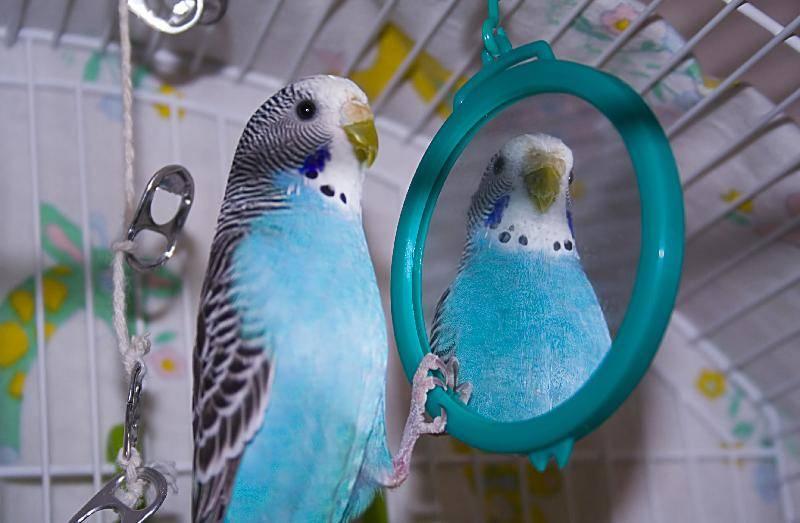 Зеркало в клетке попугая