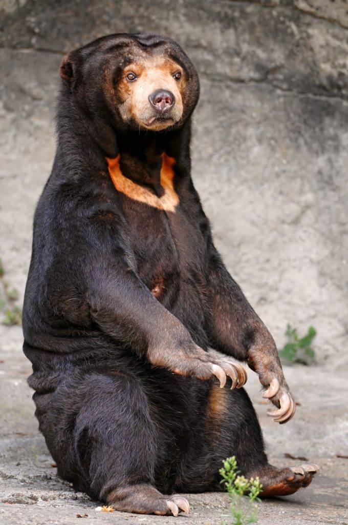 Малайский медведь бируанг фото