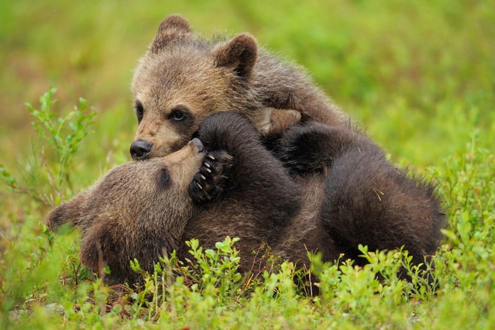 Медвежата играют