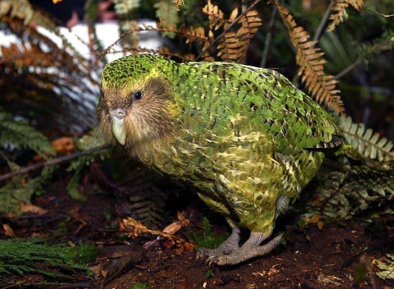 Совиный попугай фото