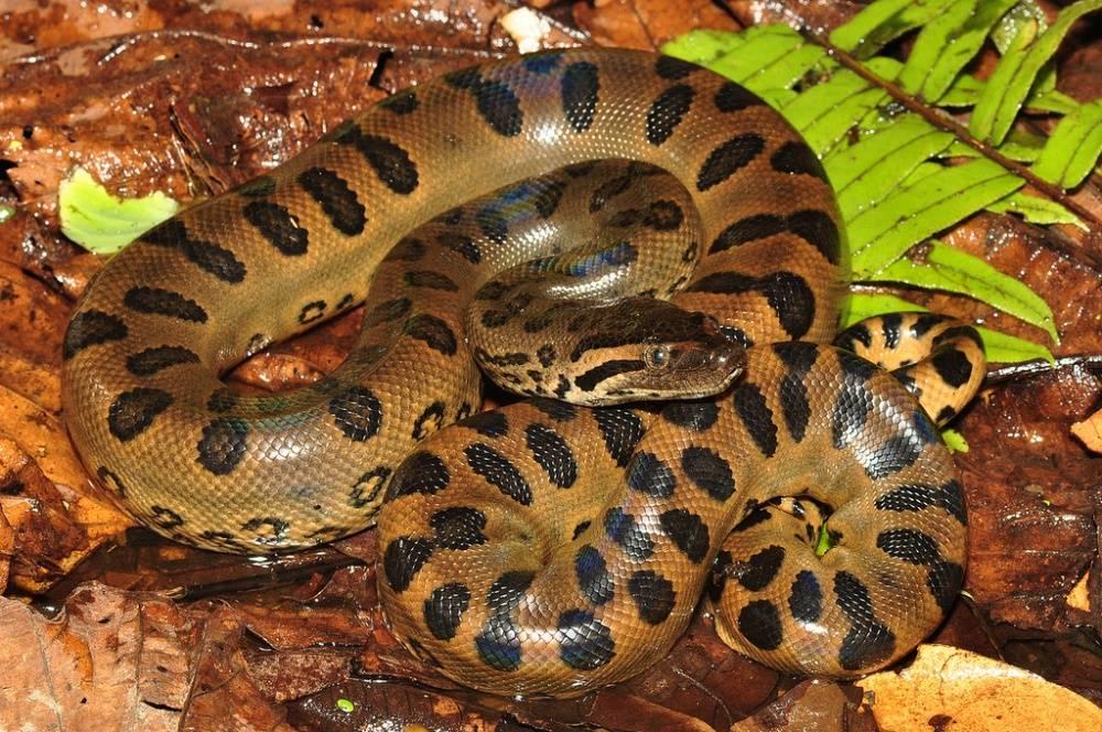 Большая змея (анаконда) фото