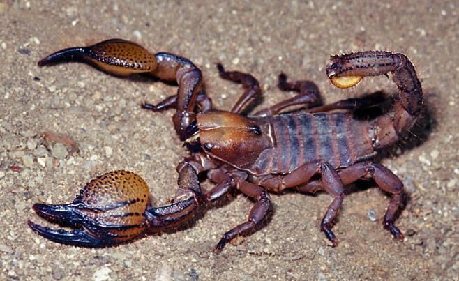 Виды скорпионов фото