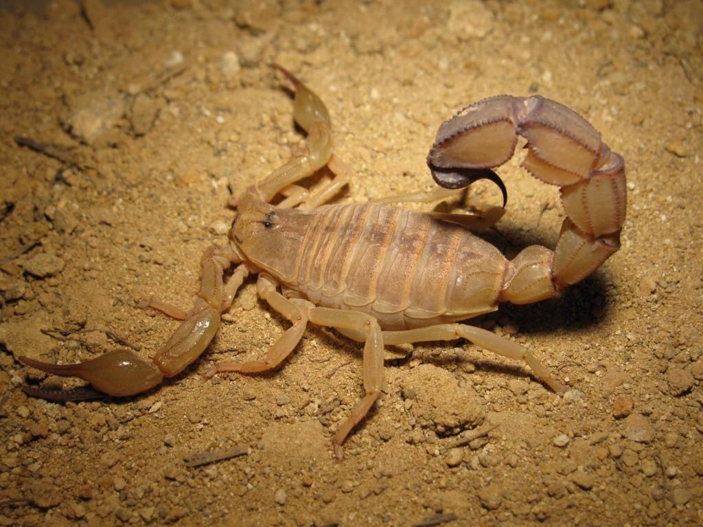Виды скорпионов названия и фото