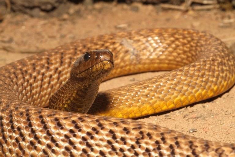 Жестокая змея (пустынный тайпан) фото