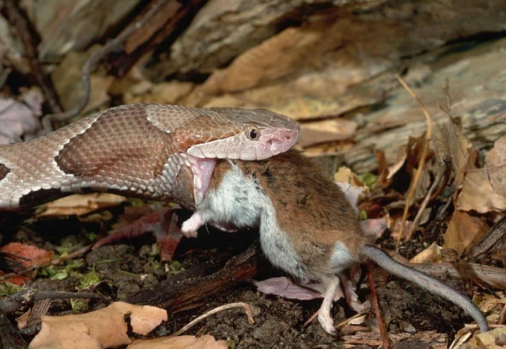 Змея заглатывает мышь