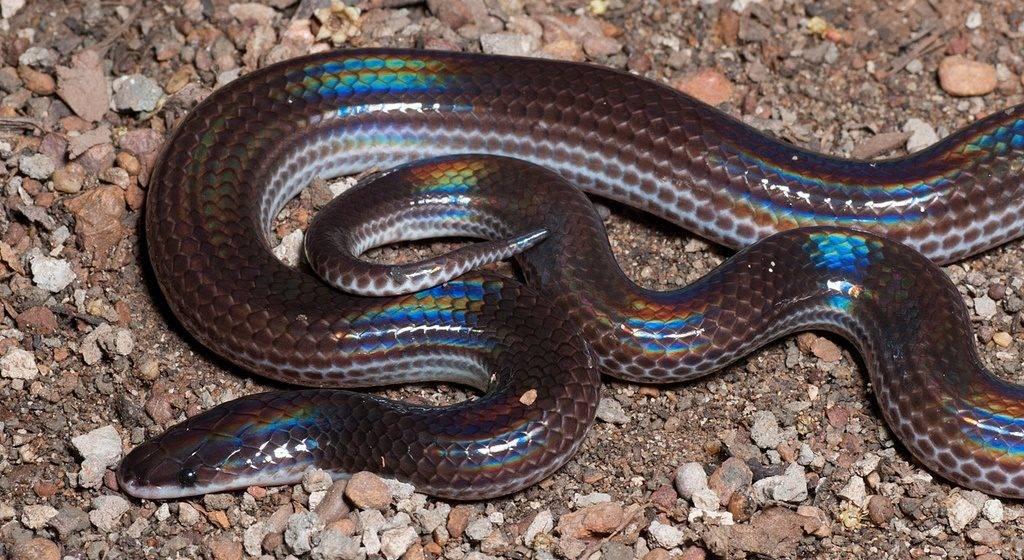 Лучистая змея фото