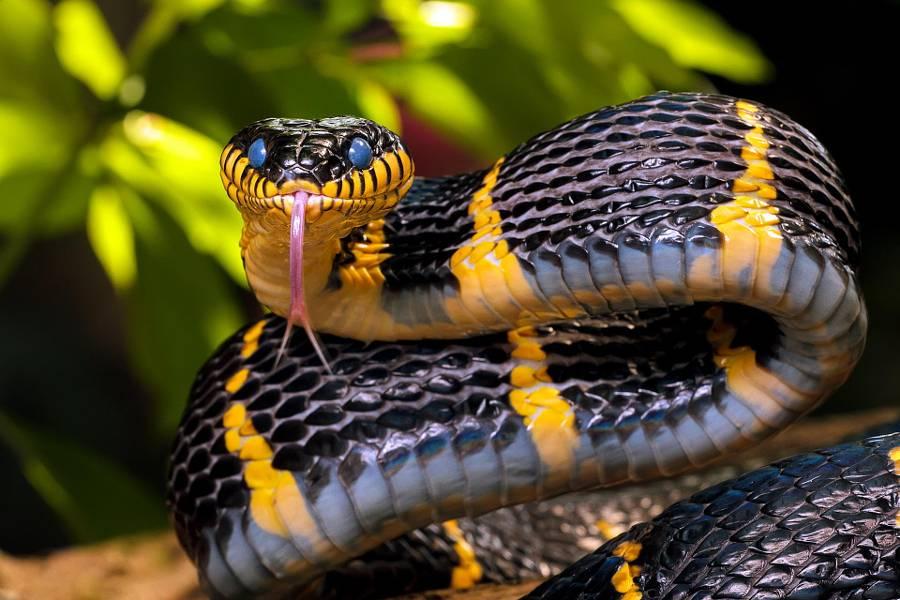 Мангровая змея фото