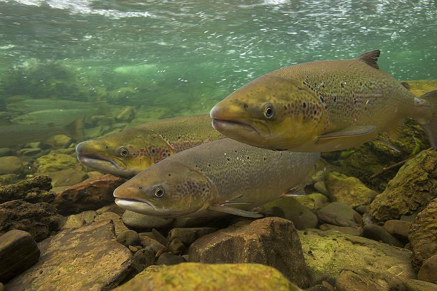 Семга – лосось атлантический