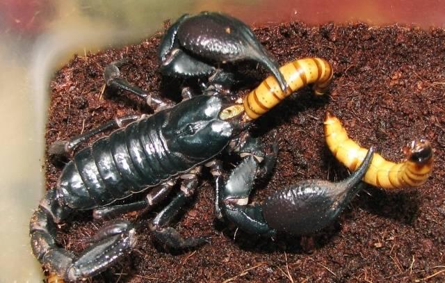 Скорпион ест червя