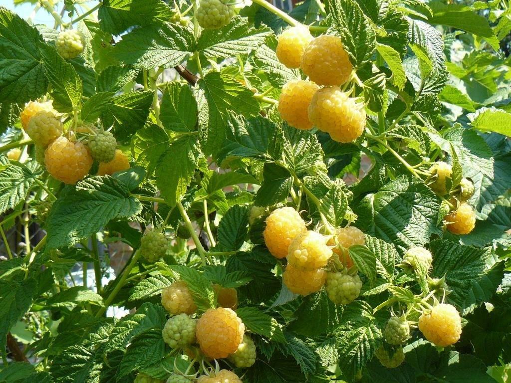 Сорт малины Желтый гигант фото