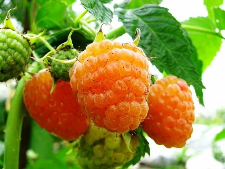 Сорт малины Золотая осень