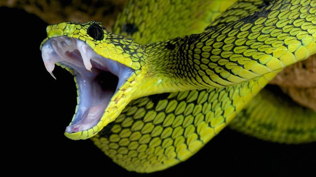 Ядовитая змея фото