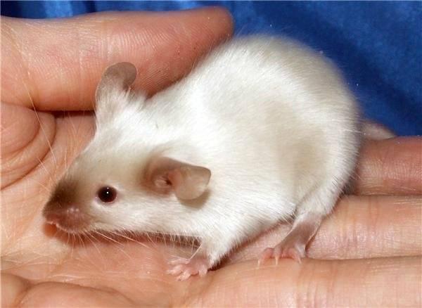 Белая мышь фото