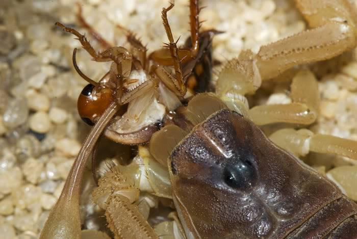 Добыча скорпиона фото