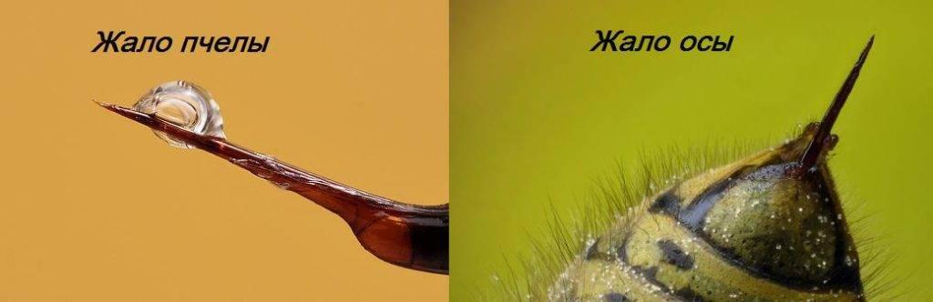 Жало осы и пчелы фото