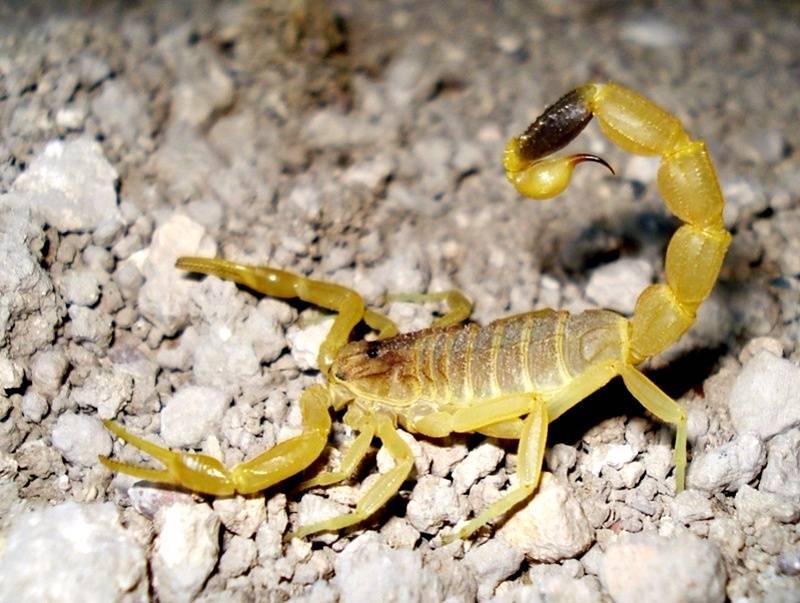 Желтый толстохвостый скорпион
