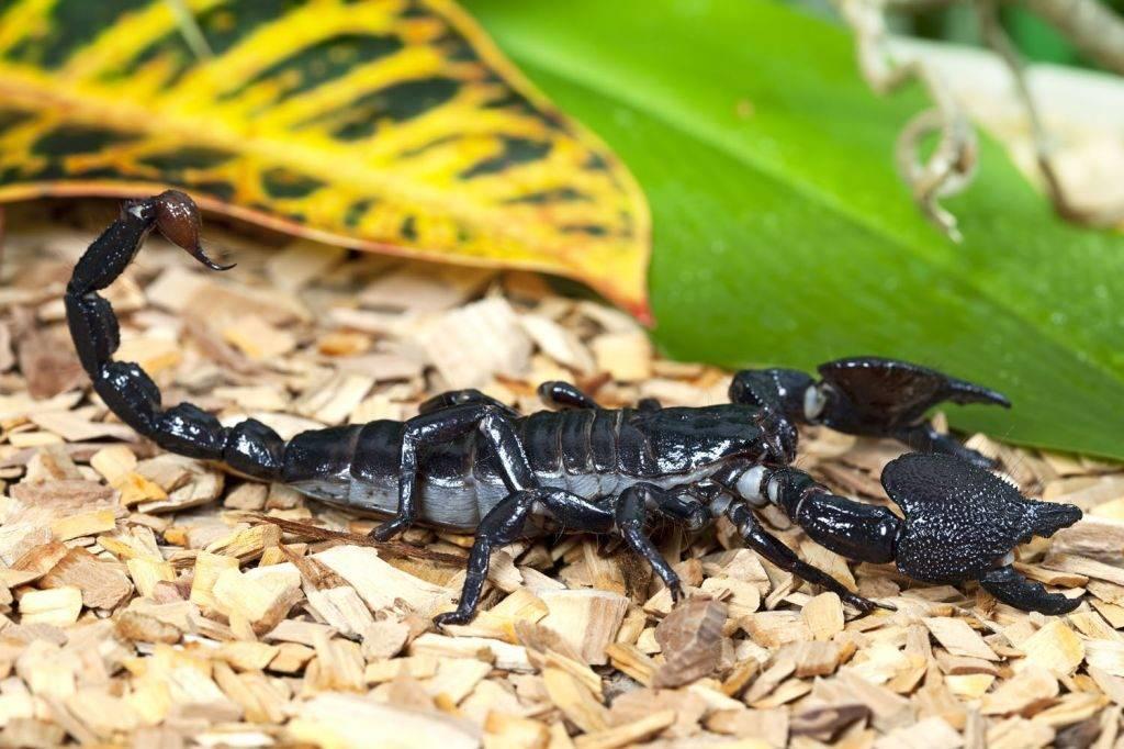 Императорский скорпион фото