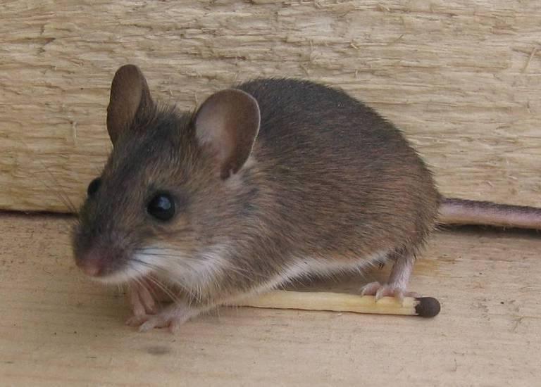 Как выглядит мышь домовая - фото