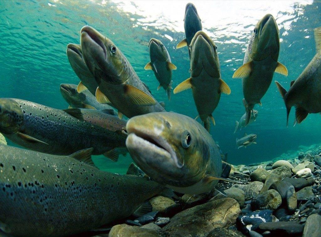 Нерест семги (атлантического лосося) фото