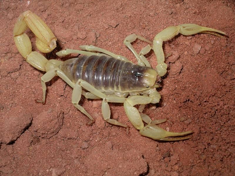Пустынный волосатый скорпион фото (гадурус аризонский)