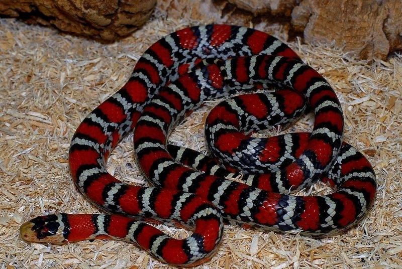 Синалойская молочная змея фото