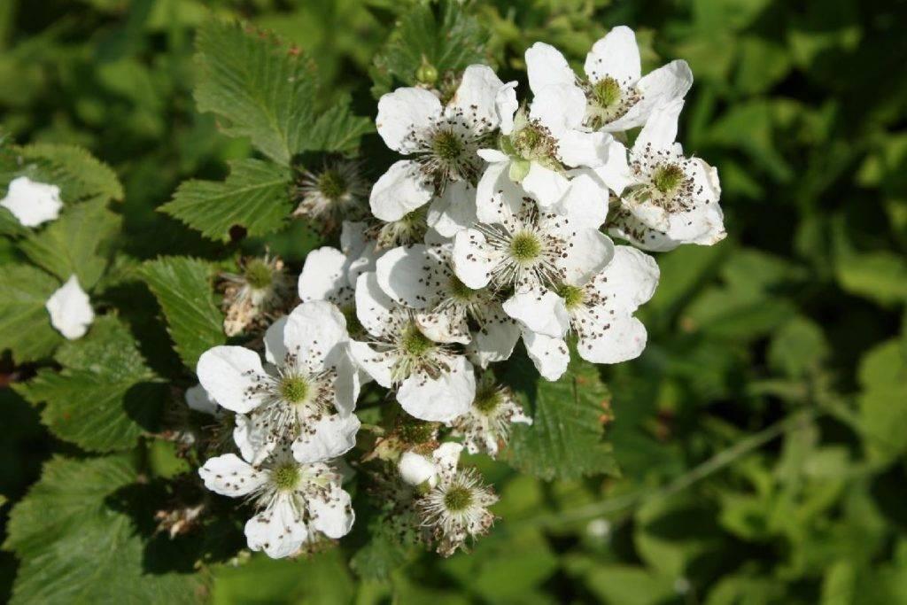 Цветок малины фото