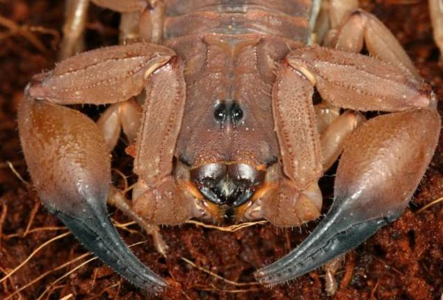 Глаза скорпиона фото