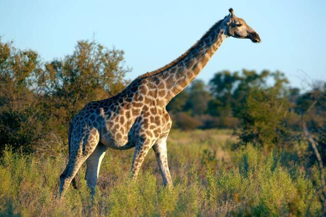 Ангольский жираф
