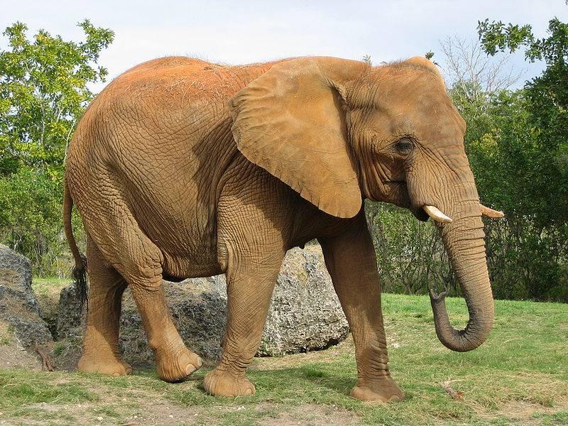 Африканский слон фото (саванный слон)